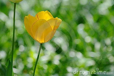 Yellow Tulip, Green Background