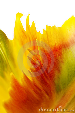 Free Yellow Tulip Petals Royalty Free Stock Images - 8728079