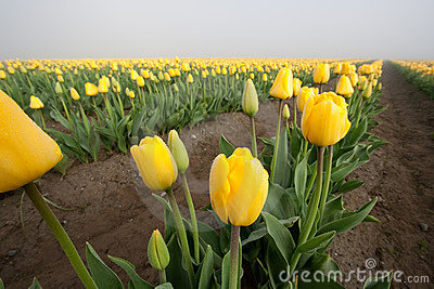 Yellow tulip row