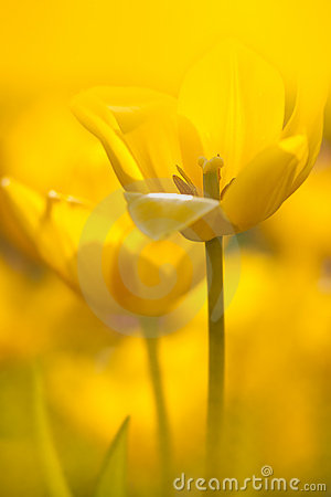 Free Yellow Tulip With Nice Light Yellow Background Royalty Free Stock Images - 17551589