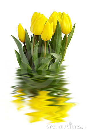 Free Yellow Tulips Royalty Free Stock Photo - 2095145