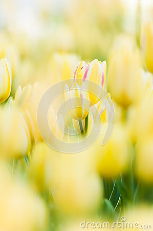 Free Yellow Tulips Stock Photography - 27254442