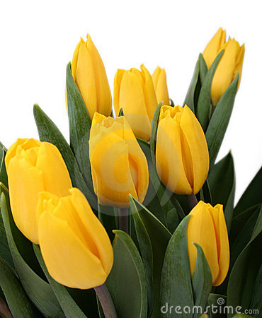 Free Yellow Tulips Royalty Free Stock Photography - 3824377