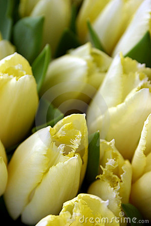 Free Yellow Tulips Royalty Free Stock Image - 808186