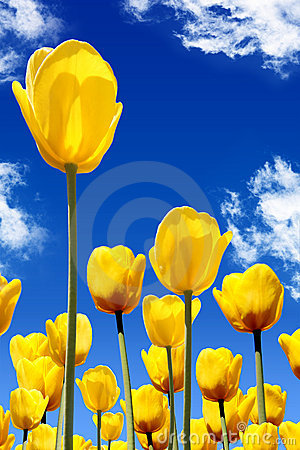 Free Yellow Tulips Stock Photos - 8814823