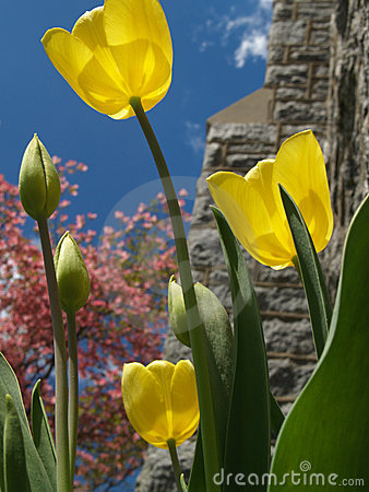 Free Yellow Tulips Back-lit Beside Church Stock Photography - 4643892