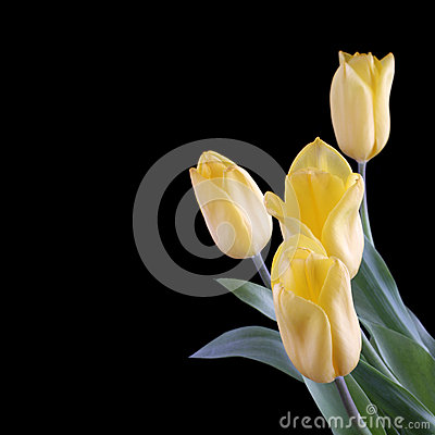 Yellow tulips on a black