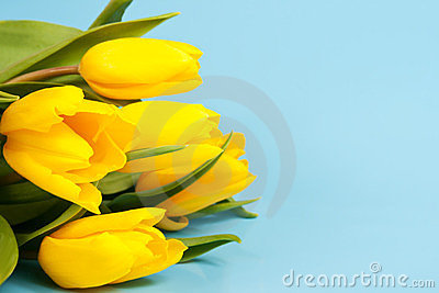 Yellow tulips on a blue