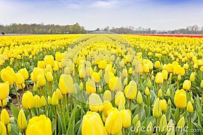 Yellow Tulips Bulb Field