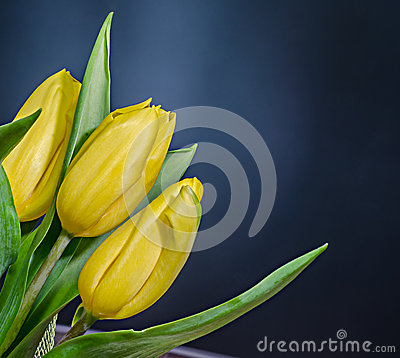 Free Yellow Tulips Flowers, Bouquet, Floral Arrangement, Close Up, Black Gradient Background Royalty Free Stock Photography - 53296427