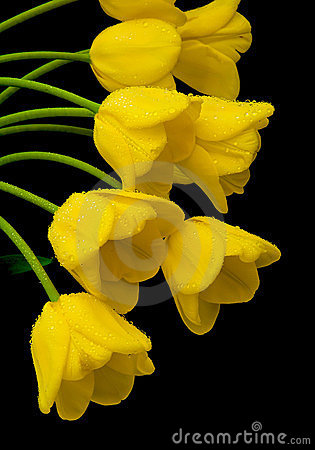 Free Yellow Tulips In The Dew Drops Close Up Royalty Free Stock Photography - 24091747