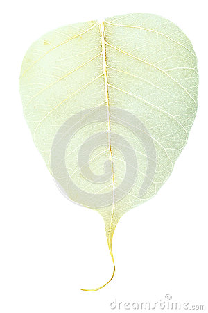 Yellow veins on dried fallen leaf