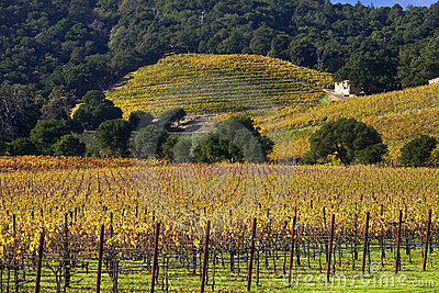 Yellow Vines Hills Vineyards Fall Napa
