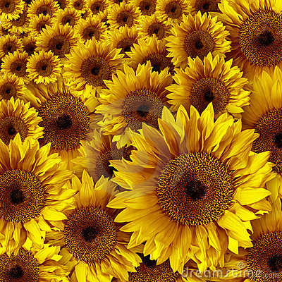 Free Yellow Vintage Rustic Looking Grunge Sunflowers Royalty Free Stock Images - 5687029