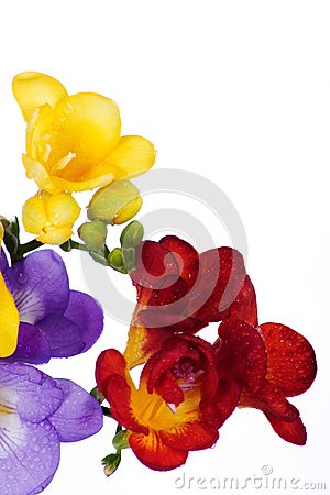 Yellow and violet fresia