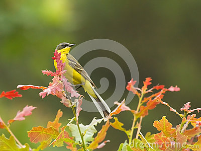 Yellow Wagtail on branch of tree