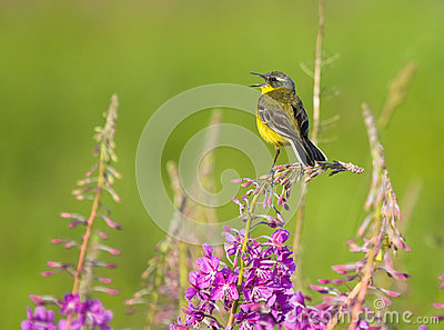 Yellow Wagtail on Fireweed flower