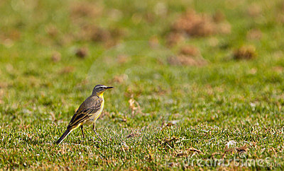 A Yellow Wagtail on the grass