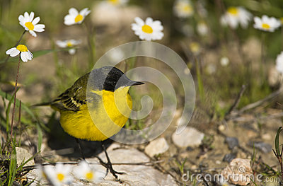Yellow Wagtail and Daisies