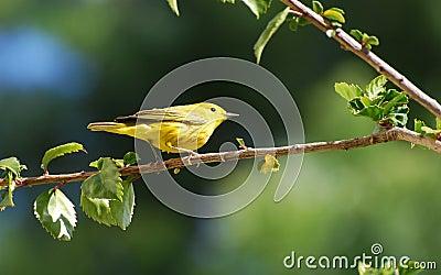Yellow Warbler in Hibiscus bush.