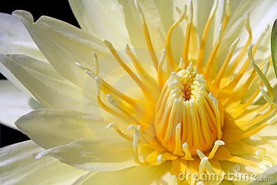 Yellow water lily isolated on black