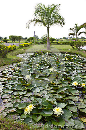 Yellow water lily pond with palm trees.