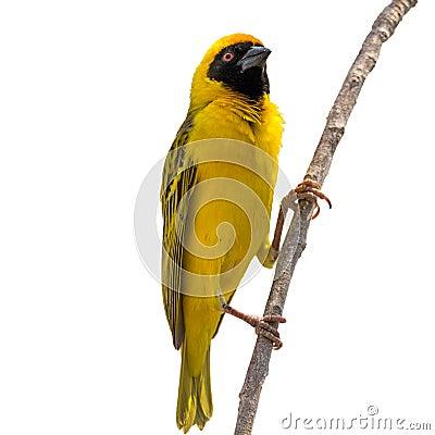 Free Yellow Weaver Bird On Tree Isolated Stock Photos - 79066043