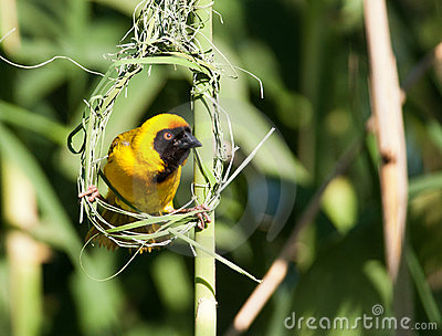 Yellow weaver staring from nest frame