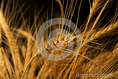 Yellow wheat