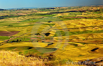 Yellow Wheat Fields Farms Palouse Washington