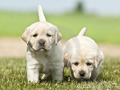 Yellow white Labrador Retriever dogs puppies grass coat eyes sky White And Yellow Labrador Retriever