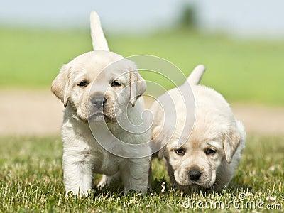Yellow white Labrador Retriever