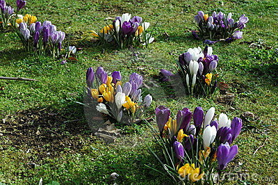 Yellow, white and purple crocus