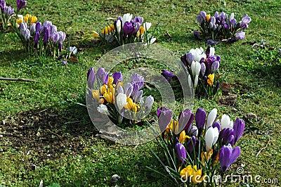 Yellow, white and purple crocus