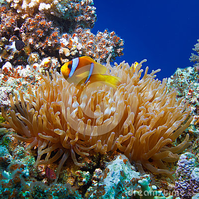 Free Yellow White-striped Clown Fish Hiding Between Anemone S Tentacl Royalty Free Stock Photos - 28260258