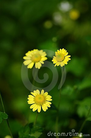Yellow wild chrysanthemum flower