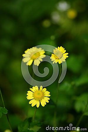 Yellow wild chrysanthemum flower