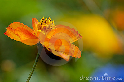 Yellow Wildflower Royalty Free Stock Photos - Image: 1799718