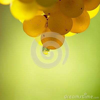 Free Yellow Wine Grape With Dew Drop Royalty Free Stock Photography - 60908427