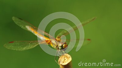 Dragonfly Yellow Winged Darter Insect Close Up stock footage