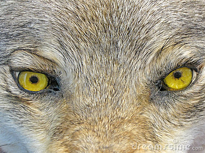 Yellow wolf eyes, wild animal nature,