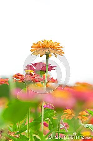 Yellow Zinnia Flower in The Garden