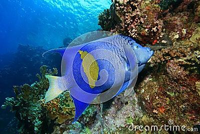 Yellowbar Angelfish