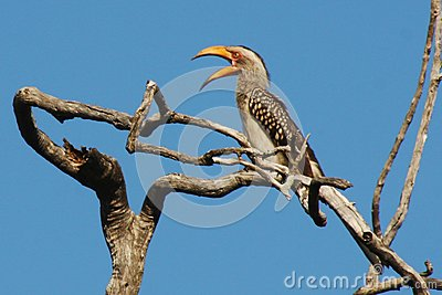 Yellowbill птицы