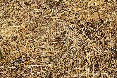 Yellowed dry grass