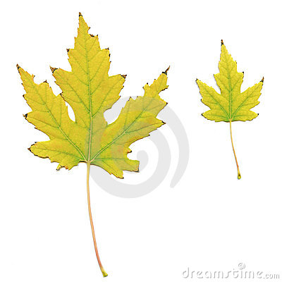 Yellowed maple leaves