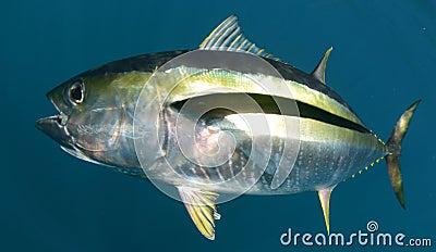 pacific ocean underwater  Pacific Ocean Fish In pacific