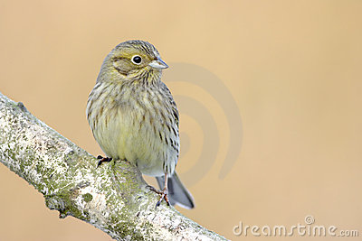 Yellowhammer bird