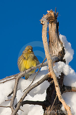 Yellowhammer bird in Snow