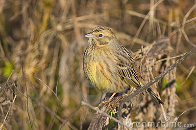 Yellowhammer  / Emberiza citrinella